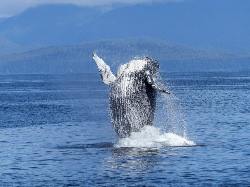 The Whale: What to Do About Being Beholden to a Single Client